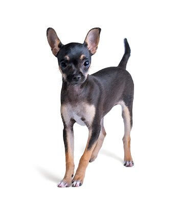 Russian Toy Terrier image