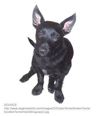 Scobo Terrier