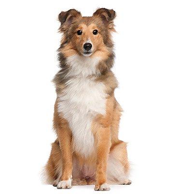 Shetland Sheepdog image