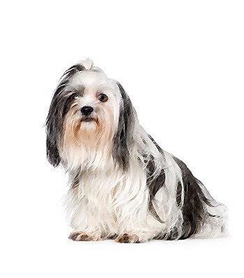 Shih Tzu Mix - Dog Breeds - Characteristics, Feeding, Health and ...