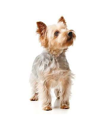 Silky Terrier image