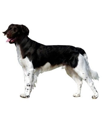 Small Munsterlander Pointer image