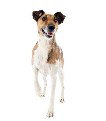 Smooth Fox Terrier image