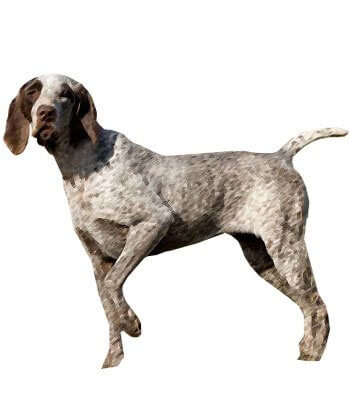 Spanish Pointer image