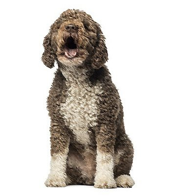 Spanish Water Dog image