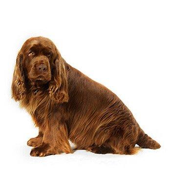 Breeds Dogs Sussex Spaniel - PetPremium