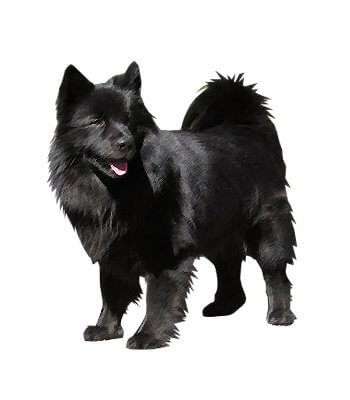 Swedish Lapphund image