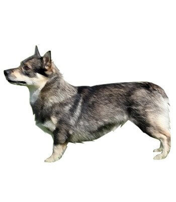 Swedish Vallhund image