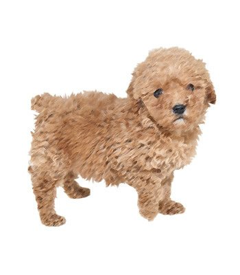 Teacup Poodle image