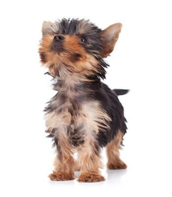 Teacup Yorkie Breed Information
