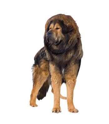 Tibetan Mastiff image