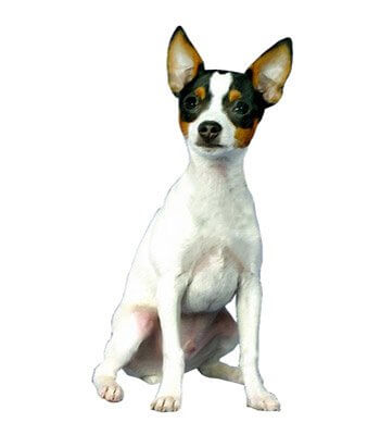 Toy Fox Terrier image