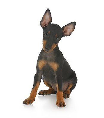 Toy Manchester Terrier image