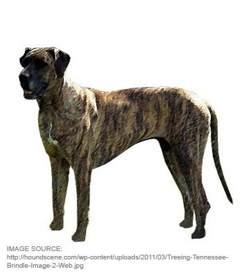 Treeing Tennessee Brindle image