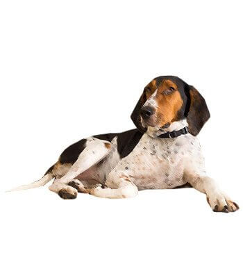 Treeing Walker Coonhound image