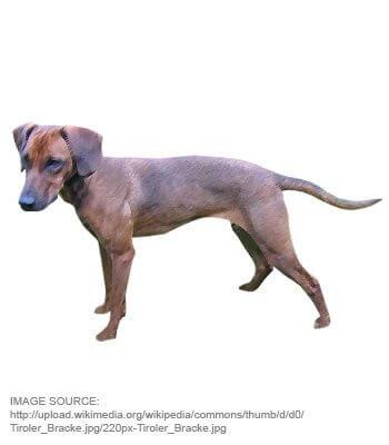 Tyrolean Hound image