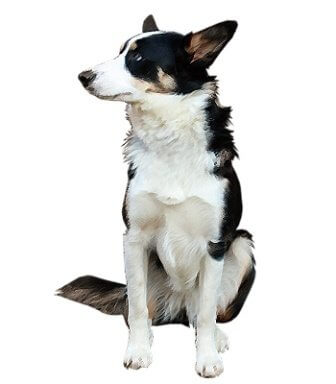 Welsh Collie image