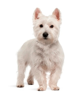 West Highland White Terrier image