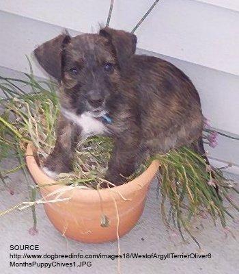 West Of Argyll Terrier