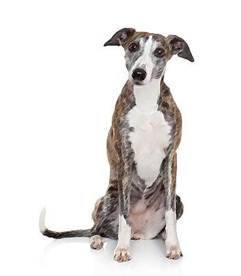 Whippet image