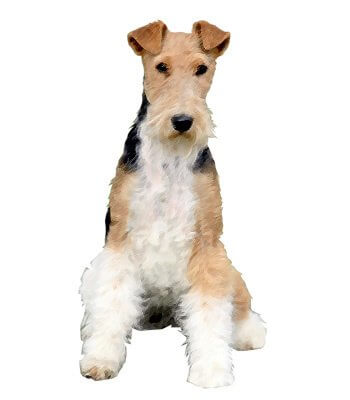 Wire Fox Terrier image