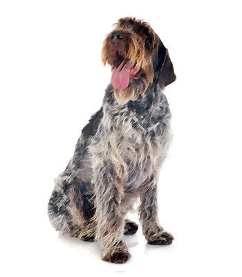 Wirehaired Pointing Griffon image